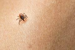 Tick - parasitic arachnid blood-sucking carrier of various diseases - stock photo