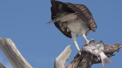 Osprey with Fish Pandion haliaetus also called fish eagle or  sea hawk close- - stock footage