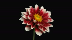 Time-lapse of blooming red-white dahlia in RGB + ALPHA matte format - stock footage