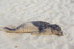 Seal pup having rest on the Hermosa beach - stock photo