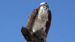 Osprey with Fish Pandion haliaetus also called fish eagle or  sea hawk close- Stock Footage