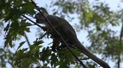 4k Squirrel monkey climbing on tree sunny day Stock Footage
