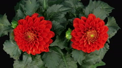 Time-lapse of blooming red dahlia in RGB + ALPHA matte format - stock footage