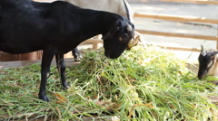 Goat eating grass in farm Stock Footage