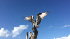 Osprey with Fish Pandion haliaetus also called fish eagle or  sea hawk - stock footage
