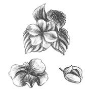 Hand drawn balsams at different stages of growth, impatiens - stock illustration