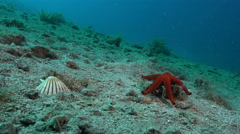 Red starfish and shell house - Adriatic sea Stock Footage