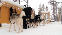 People put harnesses to the Siberian husky dogs in Saariselka, Finland. Stock Footage