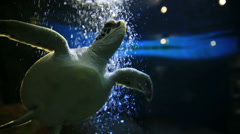 Green turtle floats among air bubbles from the oxygen generator. Stock Footage