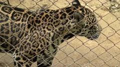 Young jaguar waiting for food from tourist. - stock footage