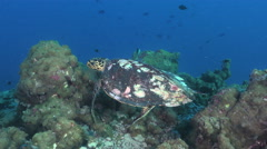 Hawksbill sea turtle eating coral and spongy - Eretmochelys imbricata Stock Footage