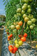 Tomato cultivation  in field agriculture Stock Photos