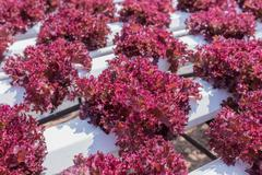 Red lettuce cultivation on hydroponic technology - stock photo