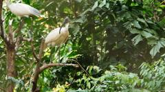Black-headed ibis (Threskiornis melanocephalus) on the tree Stock Footage