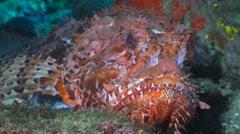Red fish, Scorpion fish, dragon fish - Scorpaenidae, Adriatic sea, close up shot Stock Footage