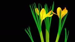 Yellow Crocus Flower Blooming Stock Footage