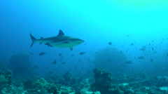 Grey reef shark swimming over the coral reef - Carcharhinus amblyrhynchos - stock footage