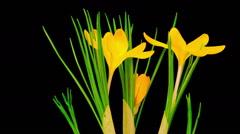 Stock Video Footage of Yellow Crocus Flower Blooming