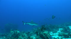 Grey reef shark over the coral reef - Carcharhinus amblyrhynchos - stock footage