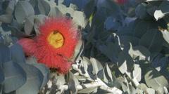 Eucalyptus macrocarpa flower and bees Stock Footage