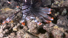 Red lionfish hunting and eating by night - Pterois Stock Footage