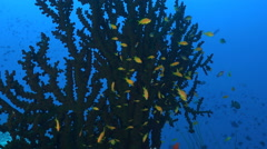 School of small tropical fish at large coral - Anthias - stock footage