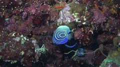 Blue tropical fish - Arabian angelfish juvenal, Pomacanthus asfur Stock Footage
