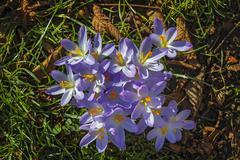 Blossoming crocuses Iridaceae Bavaria Germany Europe Stock Photos