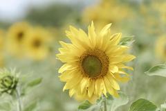 Sunflower Helianthus annuus blossoming BadenWuerttemberg Germany Europe Stock Photos