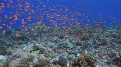 School of orange tropical fish, over the coral reef - Anthias - Red Sea Stock Footage