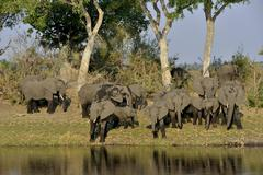 Elephant Loxodonta africana herd on the Cuando River Bwabwata National Park - stock photo
