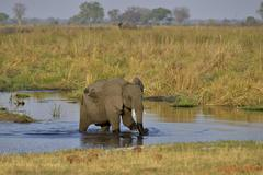 Elephant Loxodonta africana calf in the Cuando River Bwabwata National Park - stock photo