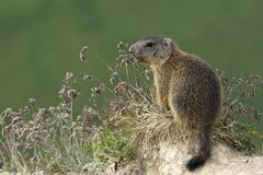 Alpine marmot Marmota marmota Offspring vigilant Alp Trida Samnaun Canton of Stock Photos