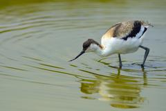 Pied avocet Recurvirostra avosetta in water young Texel West Frisian Islands Stock Photos