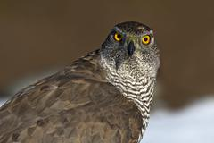 Goshawk Accipiter gentilis portrait Tyrol Austria Europe Stock Photos