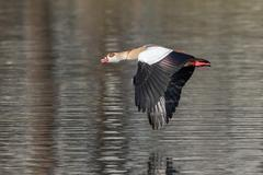 Egyptian Goose Alopochen aegyptiacus in flight Hesse Germany Europe - stock photo