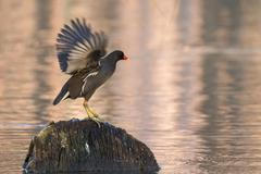Stock Photo of Moorhen Gallinula chloropus on the outlook on a stump in the water flapping its