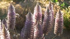 Pink mulla mulla flowers Stock Footage