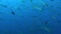 Large school of barracuda fish in the  blue - Red Sea, perfect shot Stock Footage