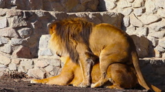 Lions mating. Stock Footage