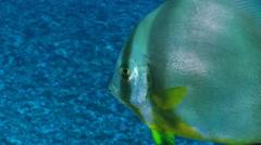Tropical colorful fish - orbicular batfish, spadefish close up shot Stock Footage
