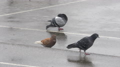 One brown and two gray pigeons walking, pecking and looking for food on rain. Stock Footage
