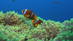 Clownfish, anemonefish family in anemone - Red Sea Stock Footage