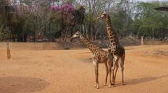Giraffe (giraffa camelopardalis) Stock Footage