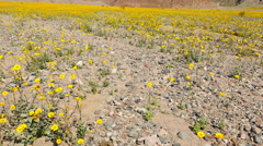 Pan Up - Death Valley Desert Flower Super Bloom - Spring Stock Footage