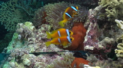 Animal self awareness test. Clownfish, anemonefish underwater mirror experiment. Stock Footage