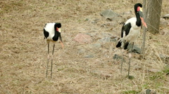 Saddle-Billed Storks Standing Stock Footage
