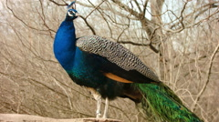 Peacock Closeup Stock Footage