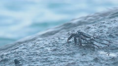 Crabs and rockskippers on the rock at the beach Stock Footage