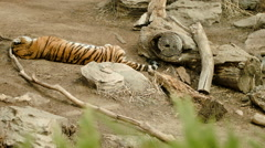 Amur Tiger Sleeping - stock footage